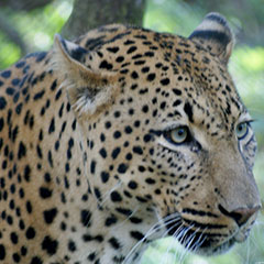 day-safari-leopard